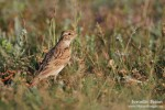 Family Larks, Greater Short-toed Lark/Calandrella brachydactyla - Photographer: Светослав Спасов