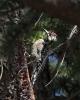 Жълтогръд сиропосмучещ кълвач/Sphyrapicus varius - Фотограф: Даниел Митев