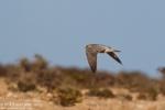 Barbary Falcon/Falco peregrinus pelegrinoides, Family Falcons