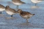 Sharp-tailed Sandpiper/Calidris acuminata, Family Sandpipers
