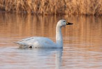 Tundra Swan/Cygnus columbianus - Photographer: Младен Василев