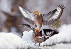 Family Finches, Hawfinch/Coccothraustes coccothraustes - Photographer: Николай Шопов