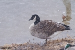 Family Waterfowl, Canada Goose/Branta canadensis