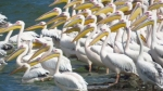 Family Pelicans, Great White Pelican/Pelecanus onocrotalus - Photographer: Анита Соколова-Ставрева
