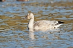 Snow Goose/Chen caerulescens - Photographer: Даниел Митев