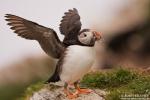 Atlantic Puffin/Fratercula arctica - Photographer: Борис Белчев
