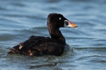 Surf Scoter/Melanitta perspicillata - Photographer: Даниел Митев