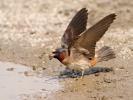 American Cliff Swallow/Hirundo pyrrhonota, Family Swallows, Martins
