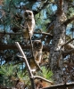 Long-eared Owl/Asio otus - Photographer: Zoia Kondova