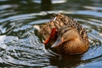Зеленоглава патица/Anas platyrhynchos - Фотограф: Dimitar Dimitrov