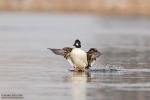 Common Goldeneye/Bucephala clangula - Photographer: Борис Белчев