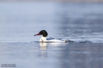 Common Merganser/Mergus merganser - Photographer: Борис Белчев