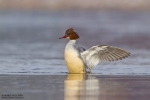Common Merganser/Mergus merganser, Family Waterfowl