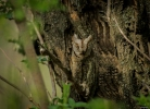 Family Owls, Common Scops-owl/Otus scops - Photographer: Иван Павлов