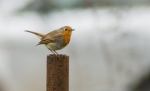 European Robin/Erithacus rubecula, Family Thrushes