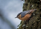 Wood Nuthatch/Sitta europaea - Photographer: Иван Павлов