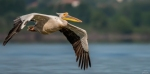 Great White Pelican/Pelecanus onocrotalus - Photographer: Иван Павлов