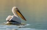 Dalmatian Pelican/Pelecanus crispus - Photographer: Иван Павлов