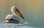 Dalmatian Pelican/Pelecanus crispus, Family Pelicans
