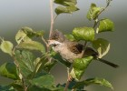 Common Whitethroat/Sylvia communis - Photographer: Борис Белчев