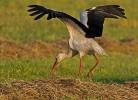 White Stork/Ciconia ciconia - Photographer: Борис Белчев