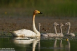Whooper Swan/Cygnus cygnus, Family Waterfowl