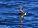 Вълнолюбка на Уилсън/Oceanites oceanicus, Семейство Вълнолюбкови