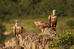 Eurasian Griffon/Gyps fulvus - Photographer: Борис Белчев