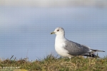 Mew Gull/Larus canus - Photographer: Борис Белчев