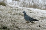 Stock Pigeon/Columba oenas - Photographer: Младен Василев