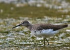 Family Sandpipers, Green Sandpiper/Tringa ochropus - Photographer: Иван Иванов