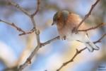 Chaffinch/Fringilla coelebs