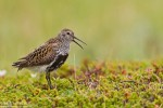 Dunlin/Calidris alpina - Photographer: Борис Белчев