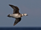 Long-tailed Duck/Clangula hyemalis - Photographer: Даниел Митев
