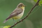 Family Warblers , Icterine Warbler/Hippolais icterina