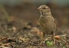 House Sparrow/Passer domesticus - Photographer: Борис Белчев