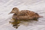 Common Eider/Somateria mollissima, Family Waterfowl