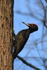 Black Woodpecker/Dryocopus martius, Family Woodpeckers