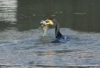 Great Cormorant/Phalacrocorax carbo - Photographer: Илиян Вълчанов