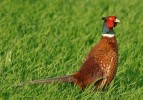 Family Gamebirds, Common Pheasant/Phasianus colchicus