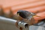 Black Redstart/Phoenicurus ochruros - Photographer: Борис Белчев