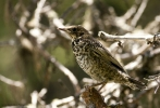 Family Thrushes, Ring Ouzel/Turdus torquatus