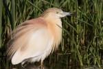 Squacco Heron/Ardeola ralloides - Photographer: Борис Белчев