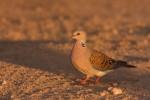 European Turtle-dove/Streptopelia turtur - Photographer: Борис Белчев