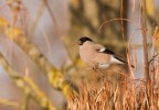 Eurasian Bullfinch/Pyrrhula pyrrhula - Photographer: Борис Белчев