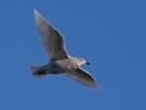Iceland Gull/Larus glaucoides - Photographer: Даниел Митев