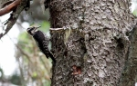 Three-toed Woodpecker/Picoides tridactylus, Family Woodpeckers