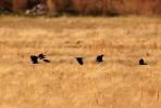 Black Lark/Melanocorypha yeltoniensis, Family Larks