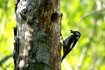 Family Woodpeckers, Great Spotted Woodpecker/Dendrocopos major - Photographer: Николай Стоянов