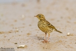 Meadow Pipit/Anthus pratensis, Family Pipits, Wagtails